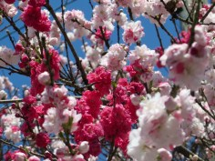 Kirschblüten!!