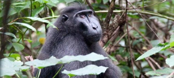 Tangkoko: Affen verzweifelt gesucht