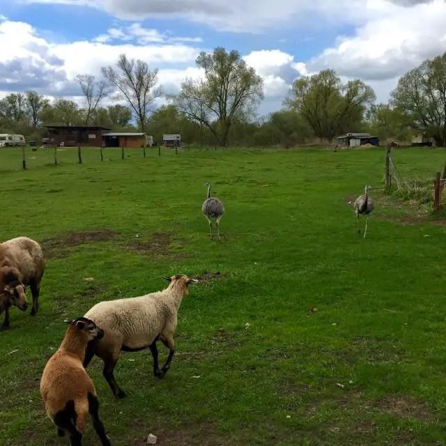 Wiese mit Schafen und Emus