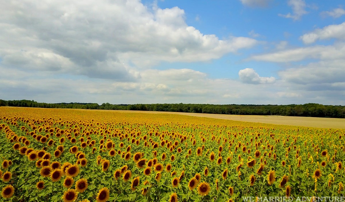 sunflower_flight01_wm