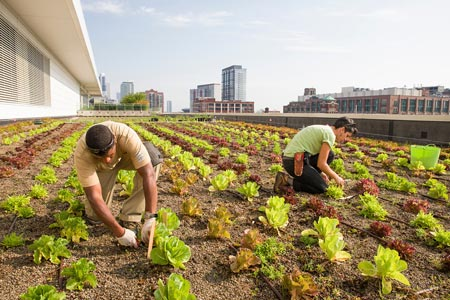 Stacey Kimmons and Audra Lewicki harvesting lettuce at the Chicago Botanic Garden's 20,000-square-foot vegetable garden atop McCormick Place West in Chicago.
