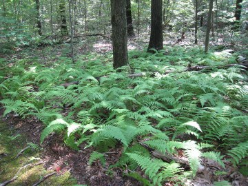 Forest bed of ferns