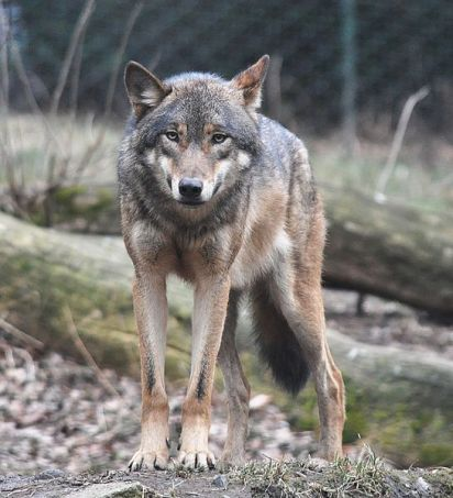 European grey wolf, Prague zoo.