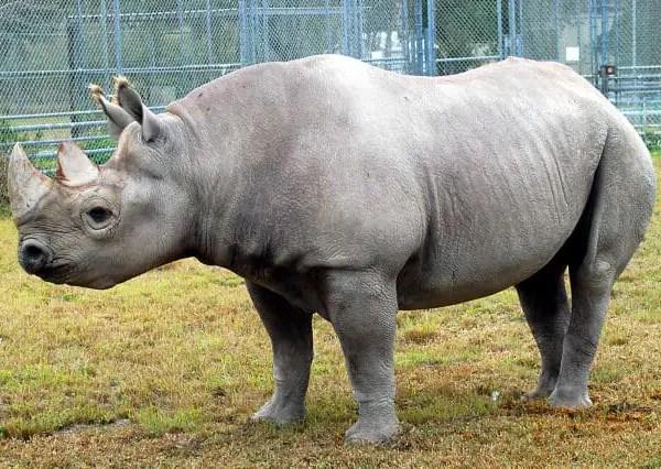 Black Rhino In North America, Dies At Zoo Miami
