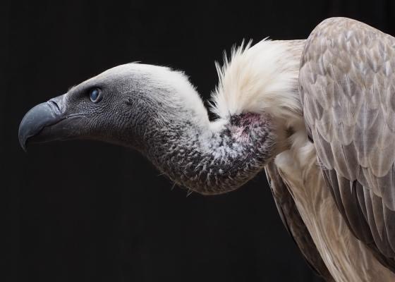 recouvrement-de-creances-vautours