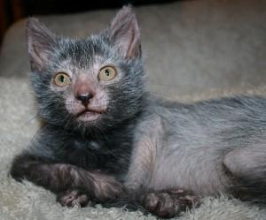Werewolf Cat!