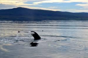 Sperm whales in Strait of Gibraltar. (c) IFAW