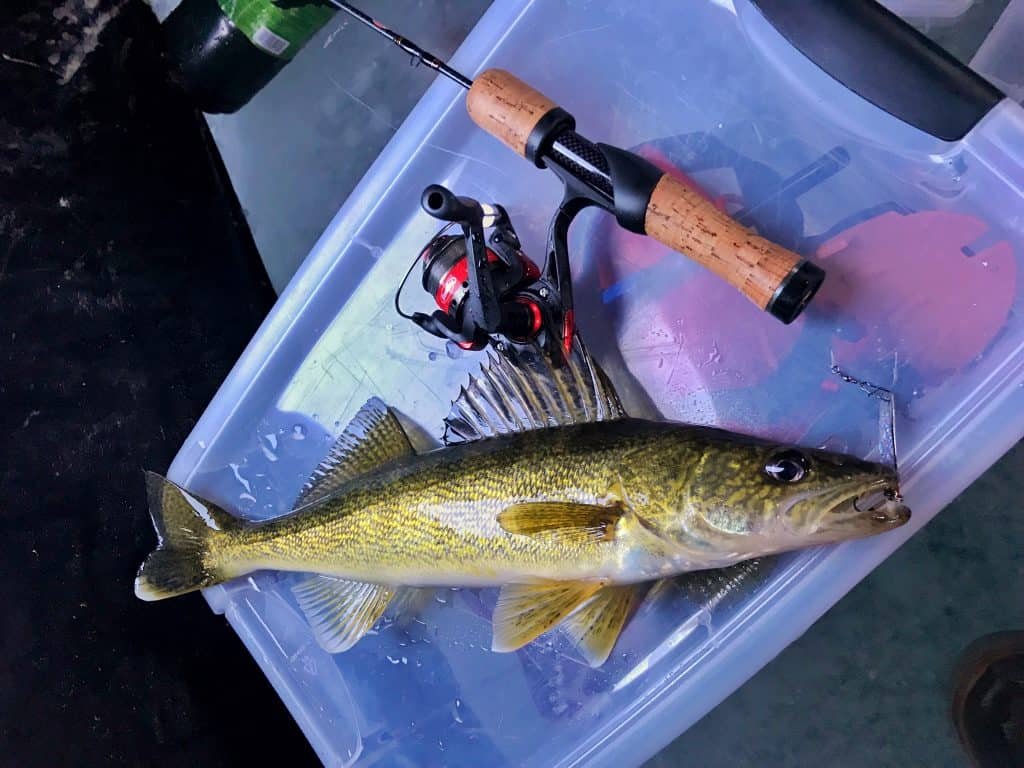 Walleye caught ic fishing in a shanty