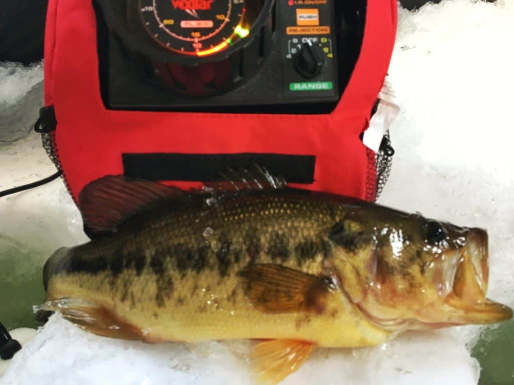 Largemouth bass lying on the ice caught ice fishing