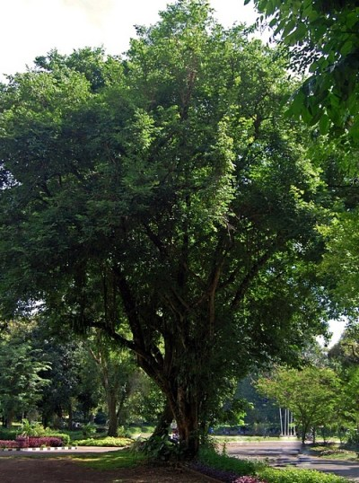 Rosenholz Baum