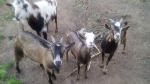 Cała kozia rodzinka