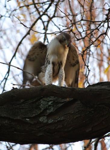 hawk eats squirrel4