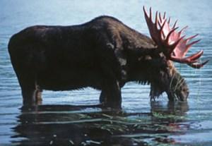 maine-moose-habitat-katahdin-region