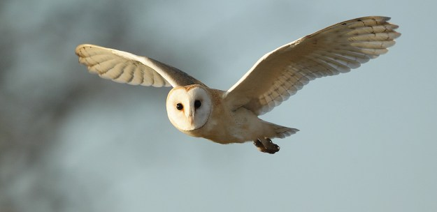 Barn Owl flying in winter sunlight Tyto alba
