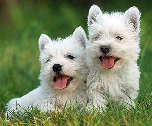Памятка владельцам щенка вестика - Вест Хайленд Терьер
