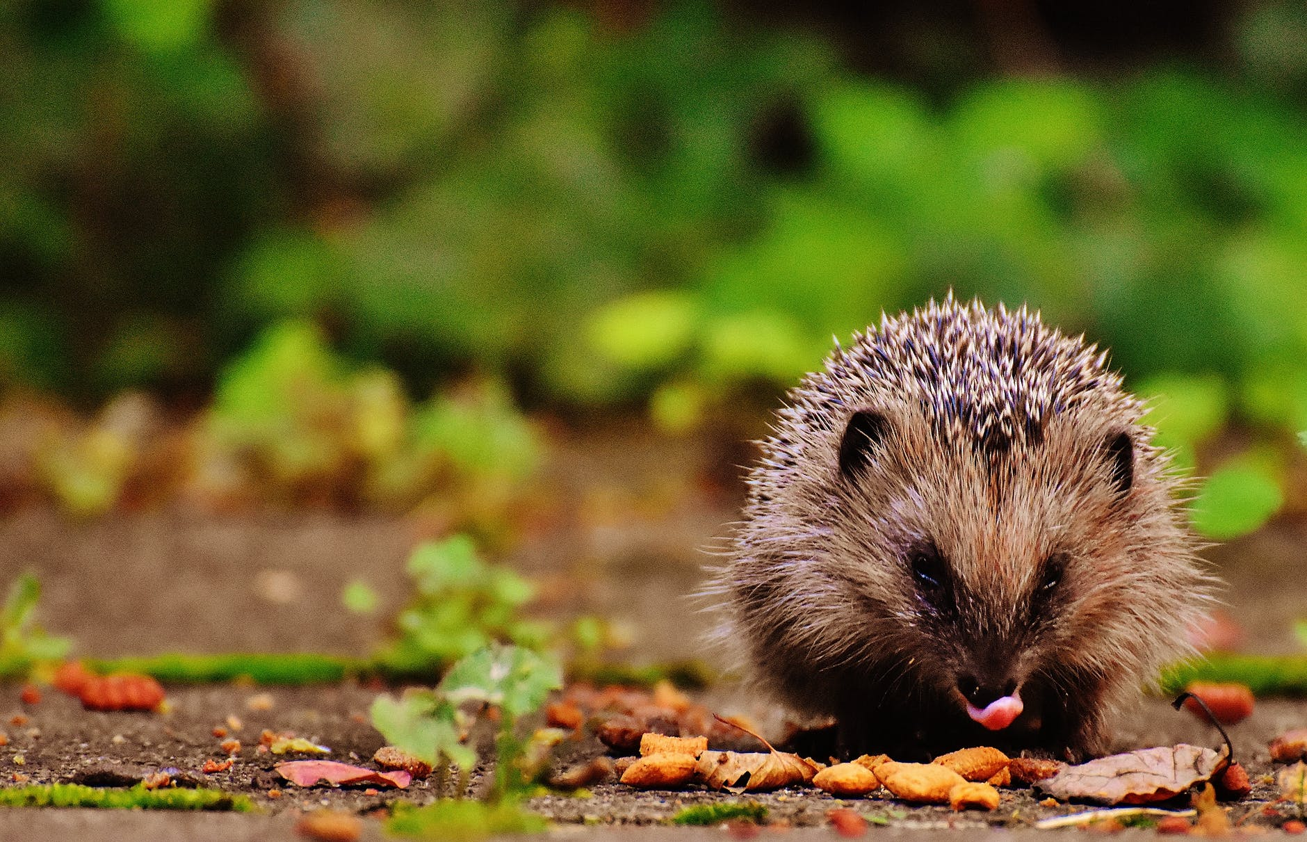 tilt shift photography of brown and gray hedgehog
