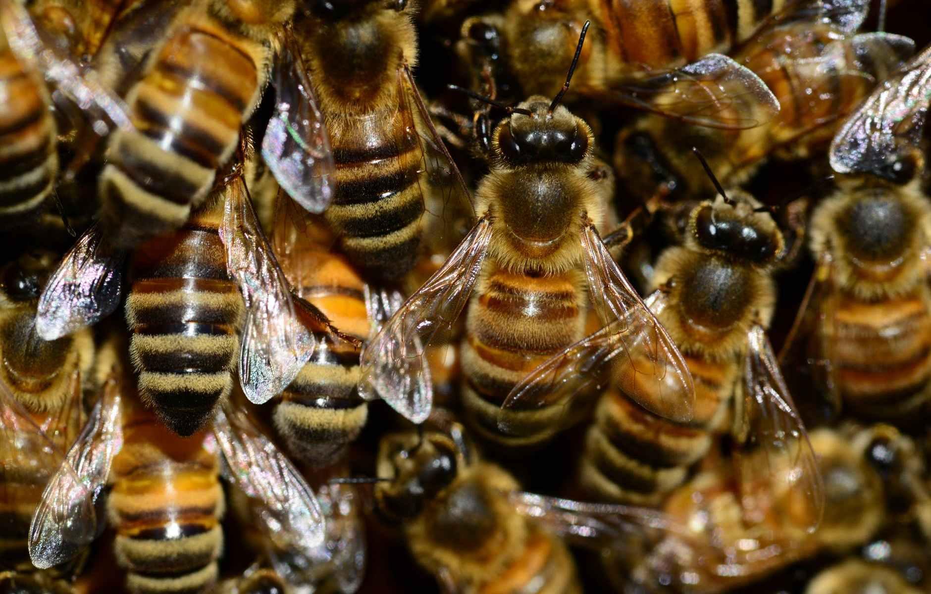 honey bee s
