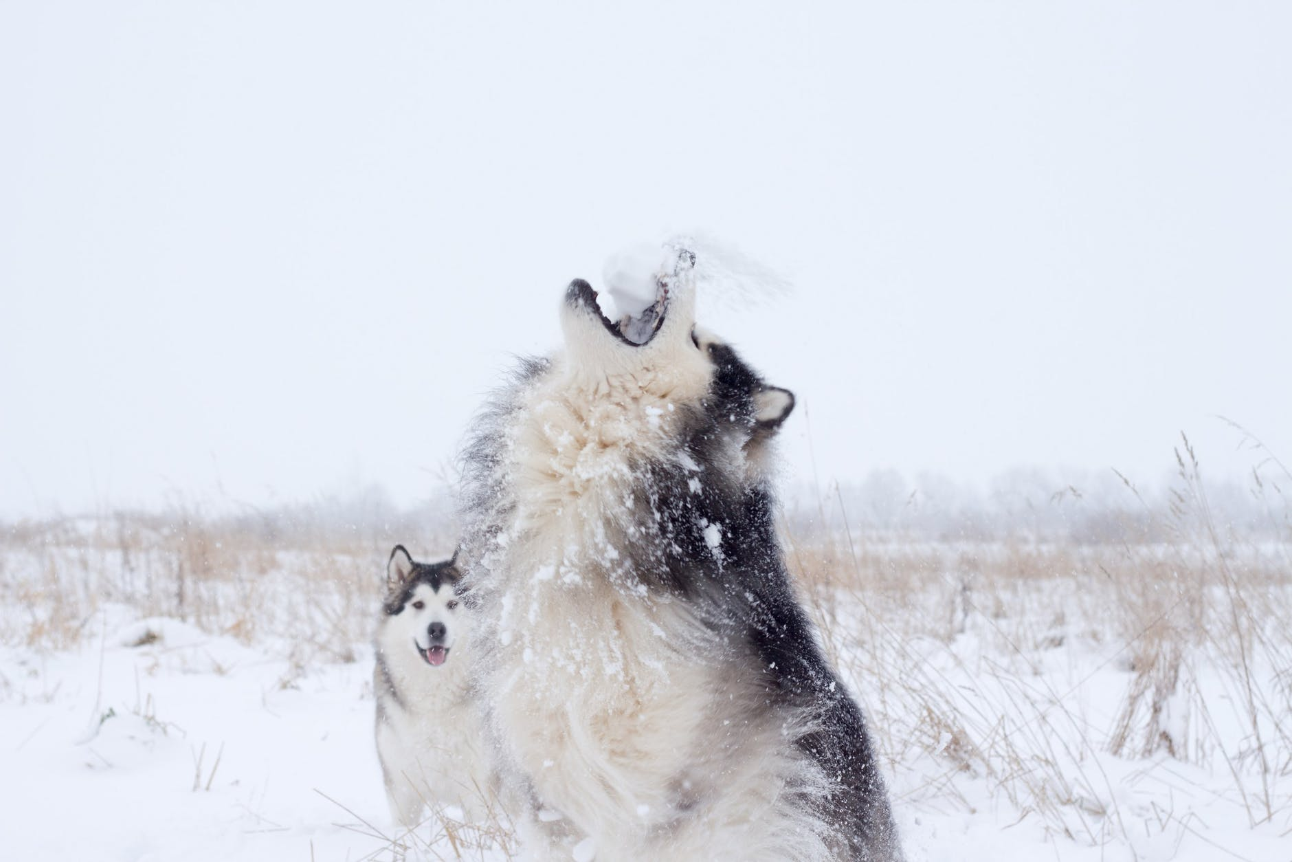 white and black siberian husky on snow covered ground