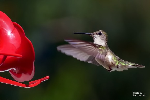 Photo by Dan Hockett Hummingbird comes in to feed at a backyard feeder Thursday morning in West Burlington.