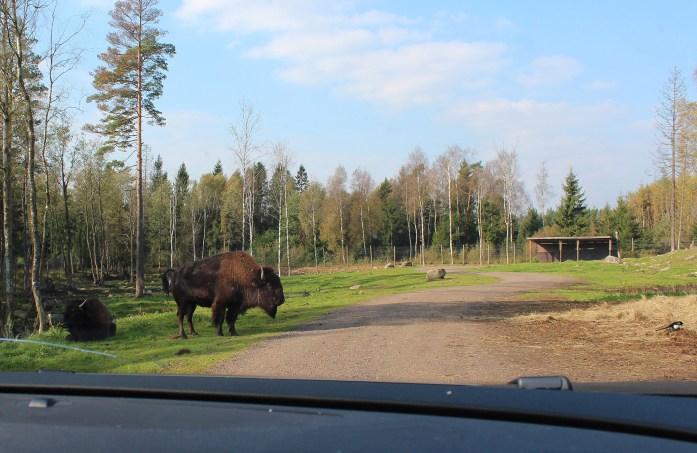 buffalosweden