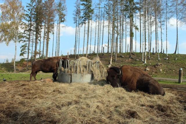 buffalosweden2