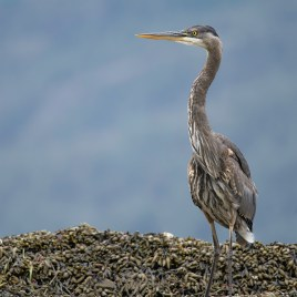 Heron On The Shore – Digital Download
