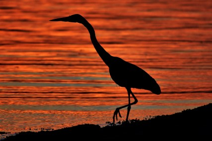 Heron Silhouetted at Sunset