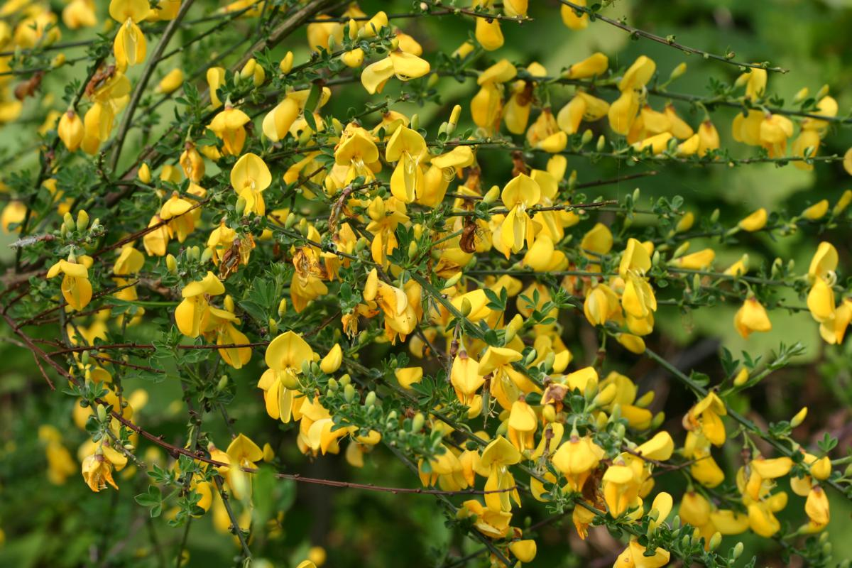 Weed West Coast Island Blooms Page 2