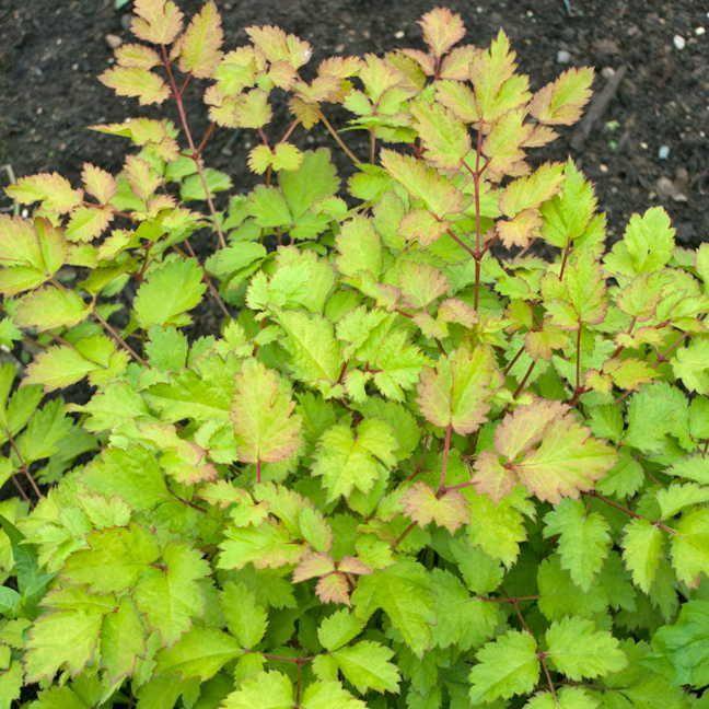 Astilbe Hybrids West Coast Island Blooms