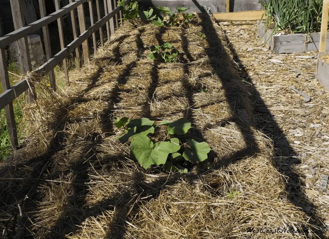 raised garden bed with straw mulch