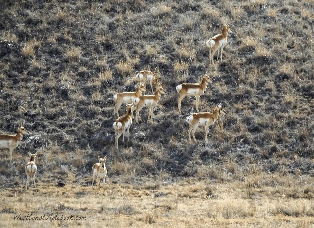 Pronghorn Antelope in Sonoita