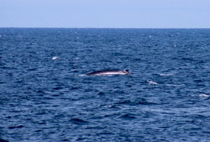 Grey Whale off Northern California