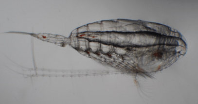 A northern copepod, commonly found off the Oregon coast during summer. Photo Credit: NOAA NWFSC