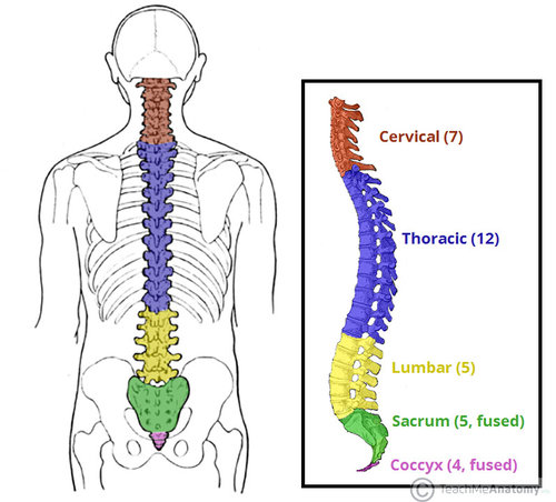 Different Parts of the Spine