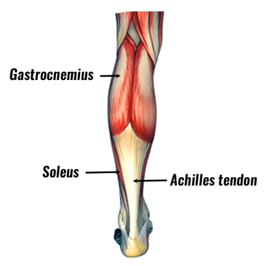 anatomy of the soleus muscle