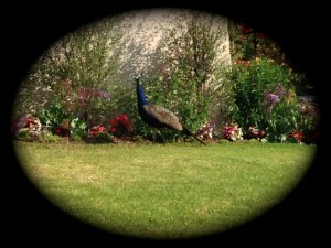 One of the ubiquitous peacocks of the Palos Verdes Peninsula.