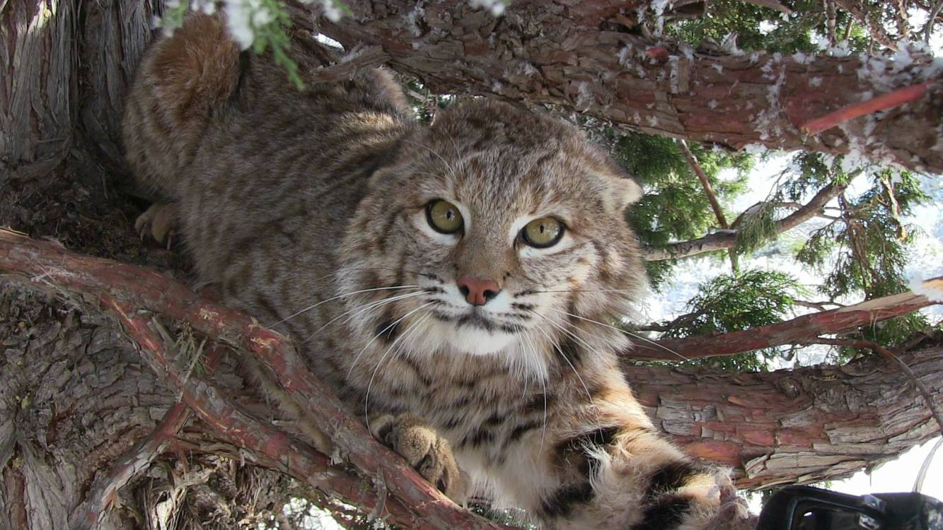Bobcat in Tree
