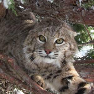 Bobcat Lures