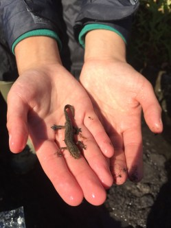 A newt rescued from the Vicus ditch