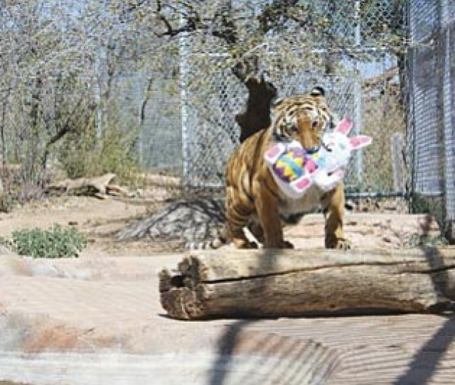 Courtesy Photocassie The Tiger Plays With Her Stuffed Easter Bunny At The