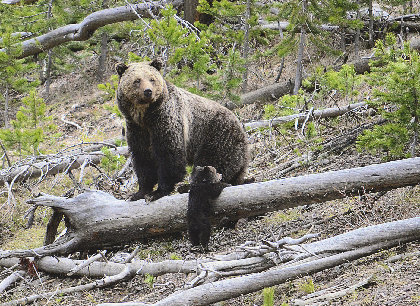 Environmentalists Group Wants Grizzly Bears Restored To