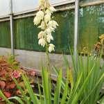 Yucca gloriosa in flower Western Plant Nursery