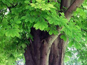 Horse chestnut tree, Aesculus hippocastanum Western Plant Nursery, Sligo