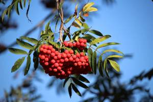 Mountain ash tree, or Rowan tree. Flowers in summer and fruits in autumn. Western Plant Nursery, Sligo