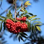 Mountain ash tree, or Rowan tree. Flowers in summer and fruits in autumn. Western Plant Nursery, Sligo