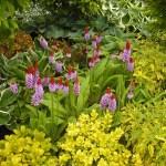 Primula Vialli, Red Hot Poker Bloom show garden 2015. Yeats Garden by Lorely Forrester. Western Plant Nursery. Sligo