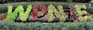 Using succulents, Sempervivums and Sedums. Western Plant Nursery, Sligo