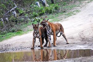 India-Two tigers stand by puddle in middle of dirt road
