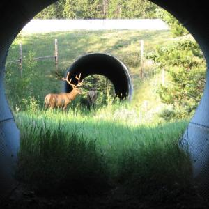 Image of elk near entrance of a wildlife underpass