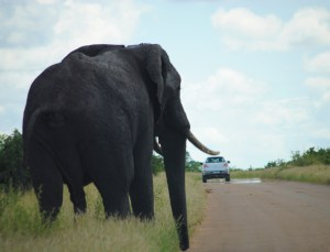 African elephant standing next to road in South Africa